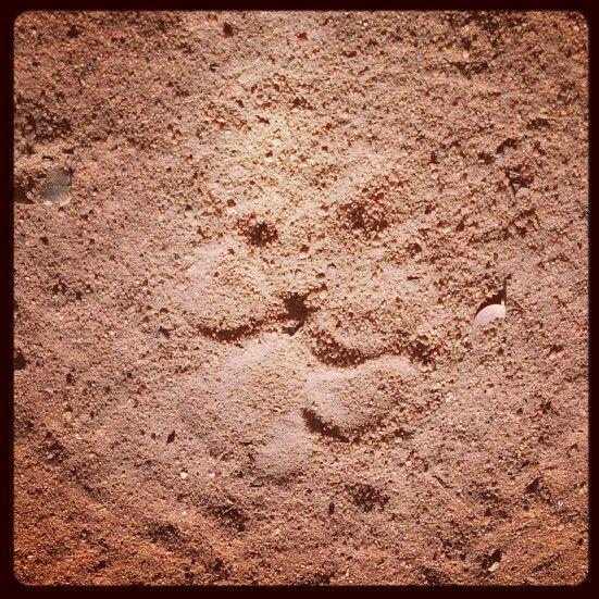 Brown hyena spoor