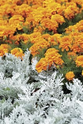With its velvety silver-white foliage, dusty miller (Senecio cineraria) is invaluable for filling in and softening planting beds and boxes. The clouds of leaves not only close gaps in plantings, but ...