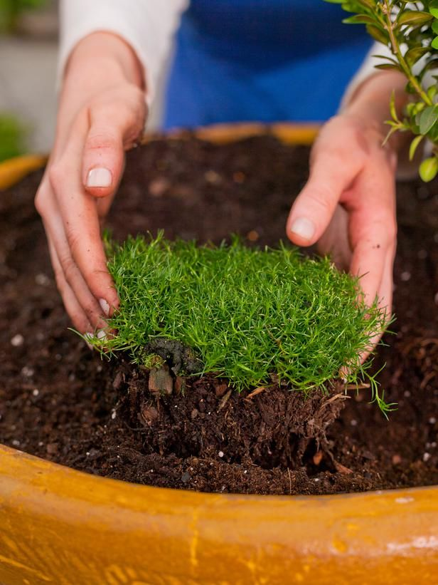 """Turf for Tiny Gardens Irish moss makes a perfect """"lawn"""" that doesn't have to be mowed."""