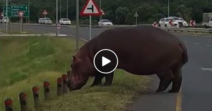 WATCH Hippo Crossing Busy Road! (Why Foreigners Believe Wild Animals Roam Our Streets)