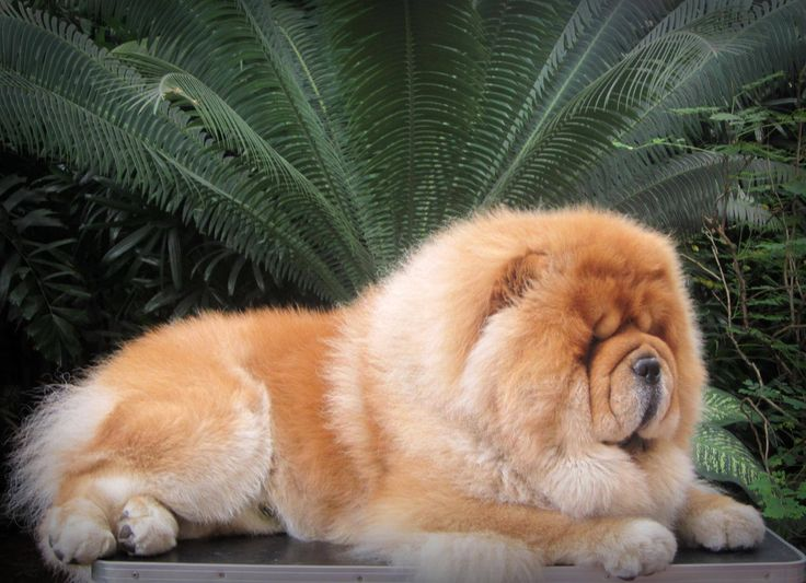 Top Chow Chow Chubby Adorable Dog - 5df9c0e8641a606cb9f1f96299f65e82--chow-chow-dogs-fat  Picture_795100  .jpg