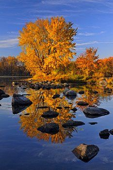 A mature autumn sugar maple reflected in the Vermilion River, Greater Sudbury (Whitefish), Ontario,Canada