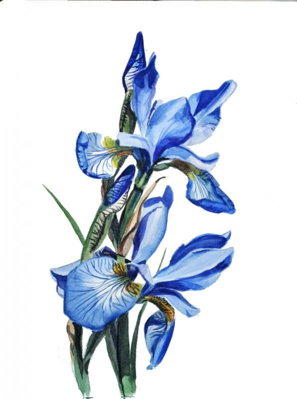 Blue Iris Wetcanvas Online Living For Artists Blue Flower Painting Flower Art Painting Iris Painting