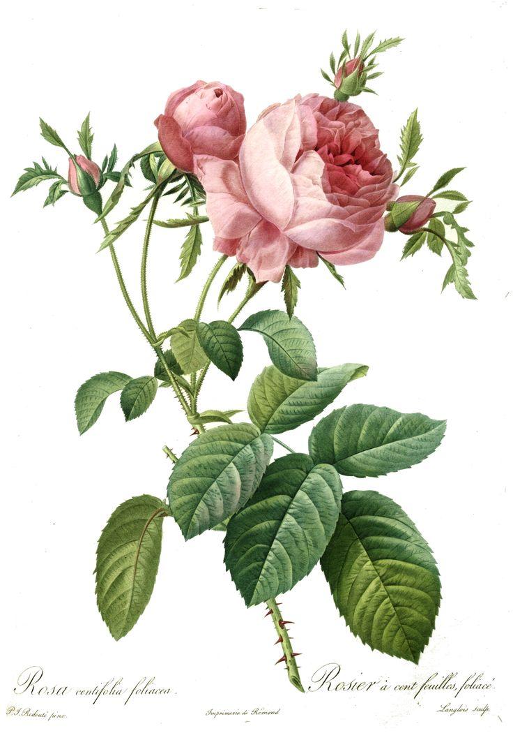 marinni: Pierre Joseph Redouté(1759-1840). Розы и букеты.