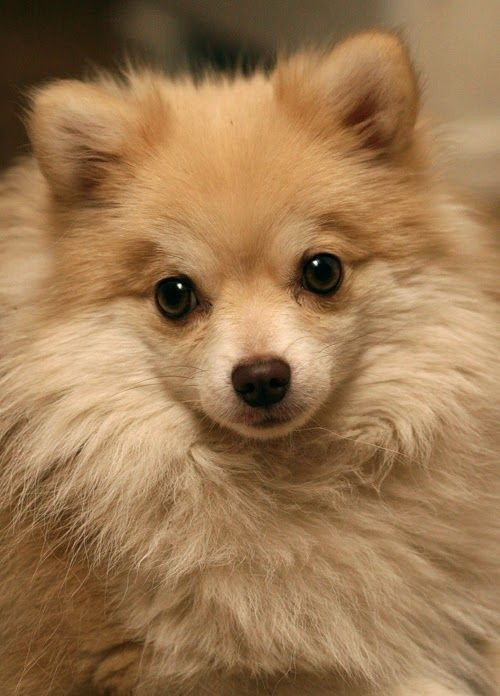 See more Pomeranian Temperament and Personality