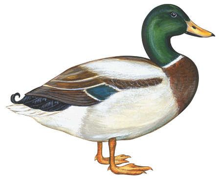 mallard duck anas platyrhynchos