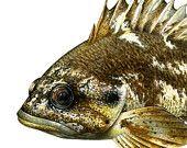 Gopher Rockfish, original gouache painting.