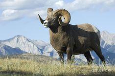 rocky-mountain-big-horn-sheep-bob-christopher.jpg (900×597)