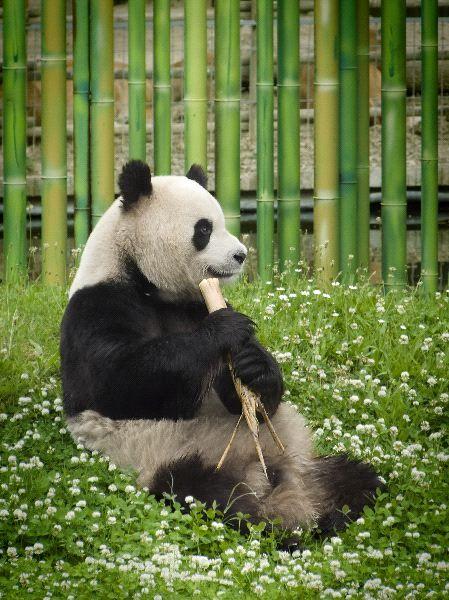 Hermoso oso panda en cautiverio