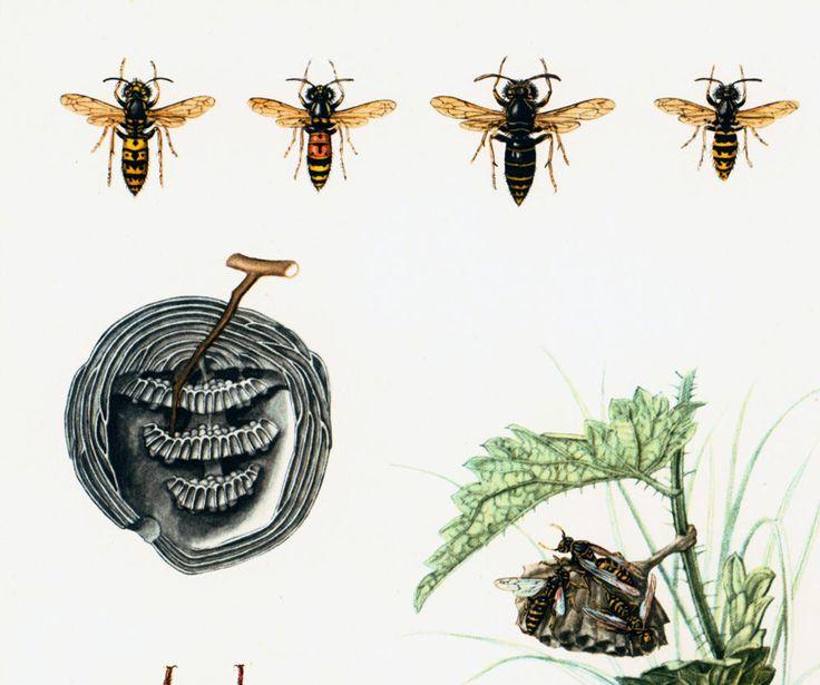 1960 Guêpe. Frelon. Poliste. Hyménoptères. Nid de Guêpes. Illustration Insecte. Planche Originale Entomologie. de la boutique sofrenchvintage sur Etsy