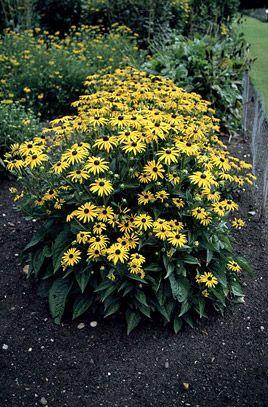 Herbaceious: Rudbeckia fulgida var. sullivantii 'Goldsturm'