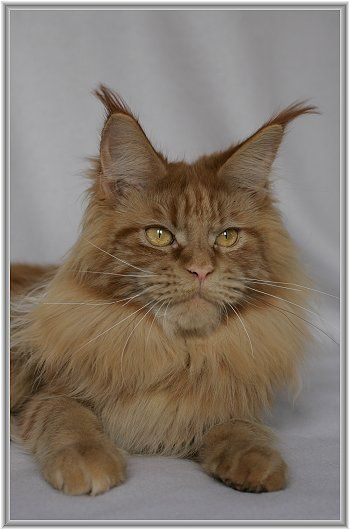 Maine Coon, red solid (d). Big Giants Resort's Woman in Red
