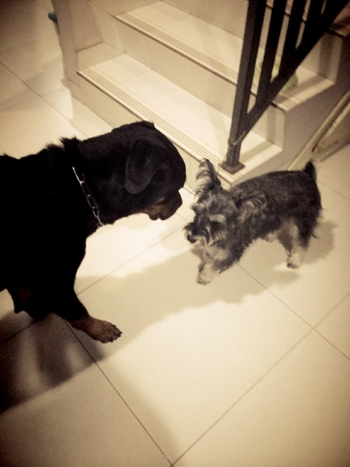 Rottweiller and mini schnauzer. let's play.