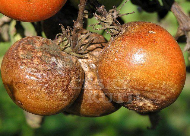 Plíseň na rajčatech a okurkách a cibuli