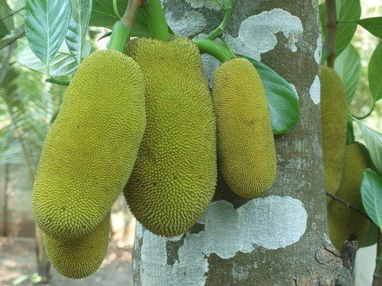 Jackfruit..ste cel mai mare fruct care creste in copaci, putand sa atinga o greutate de 36 de kilograme. Poate fi consumat atat ca atare, cat si in cadrul unor mancaruri gatite cu curry.