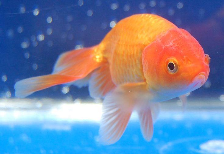 Shukin (Gold Fish)
