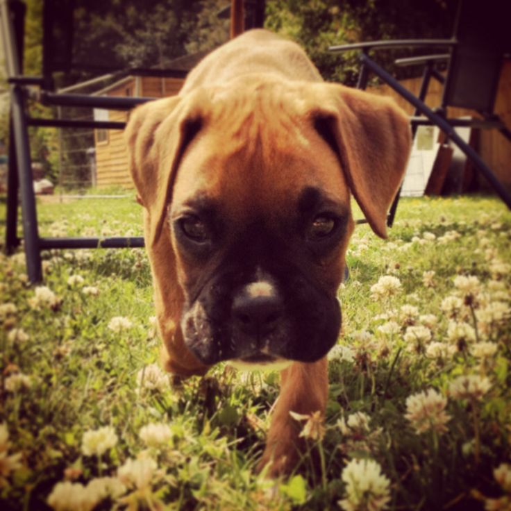 Molly the boxer.