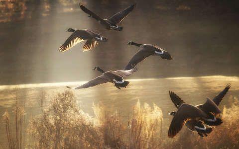fény lúd madár vizimadár