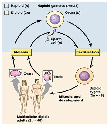 the processes of mitosis and meiosis and sexually transmitted diseases Re92 observe and describe the significance of cellular reproductive processes, including mitosis and meiosis  (sexually transmitted diseases) sterilization (male .
