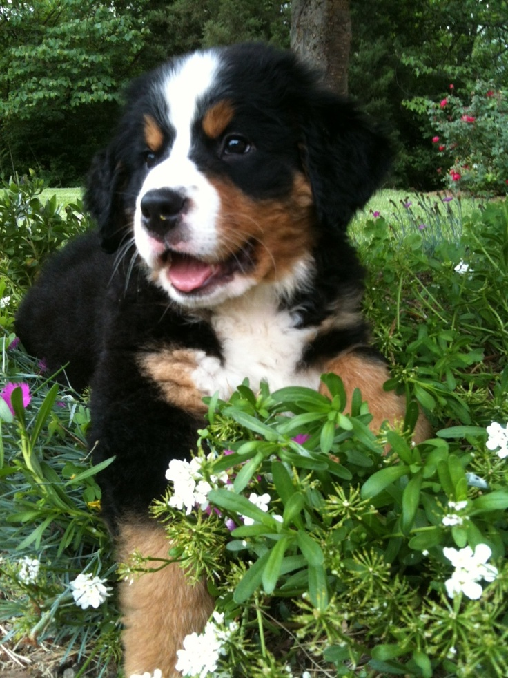 1000 images about bernese mountain dog on pinterest puppys bernese mountain puppy and. Black Bedroom Furniture Sets. Home Design Ideas