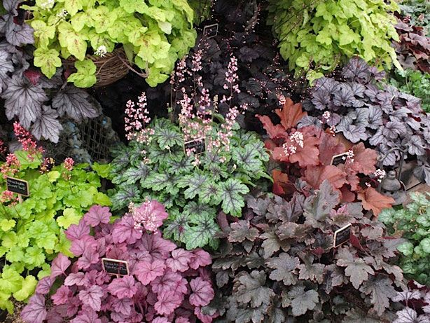 221 best Heuchera the best evergreen shade plant images on
