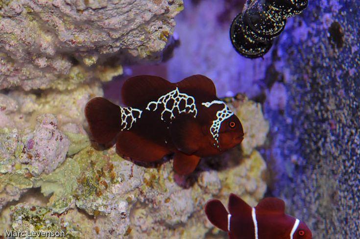 a rare fish, the Lightning Maroon Clownfish