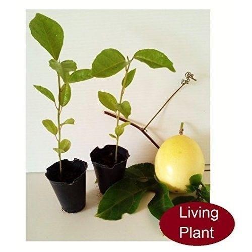 Passion Fruit 2 Starter Live Plant Tree 3 Pot Flower Garden Outdoor Best Gift #PassionFruit2StarterLivePlant