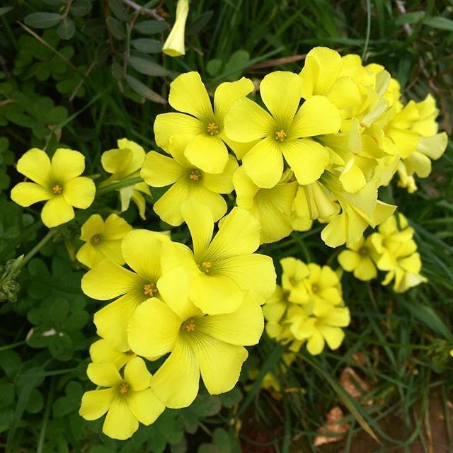 PALMA DE MALLORCA MADRIDESPAÑA #paparalemx  #photography #photographer #photooftheday #phaseoftheday #madrid #quoteoftheday #sinfiltro #alitaenmadrid #justlive #ahoraonunca #nowornever #flores #amarillas #yellow #yellowaddict #españa #palmademallorca  #mallorca #isla #island
