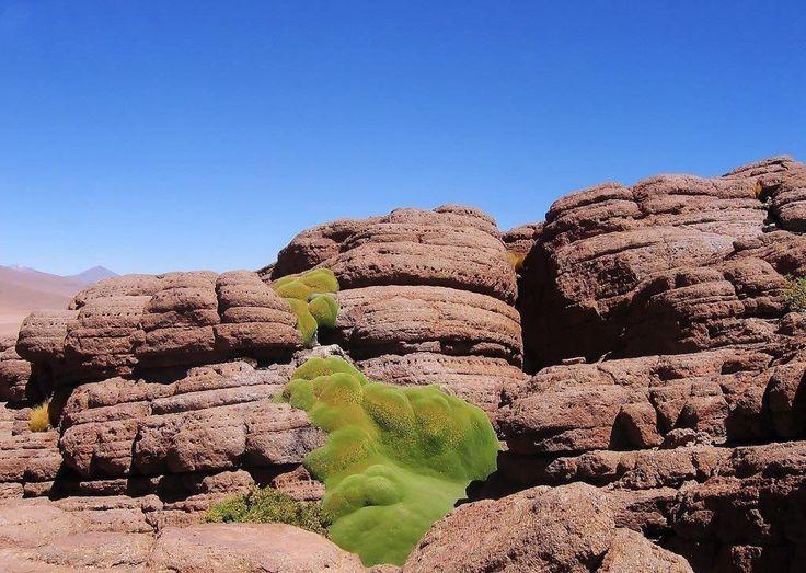 Ярета - вечнозеленое растение Южной Америки