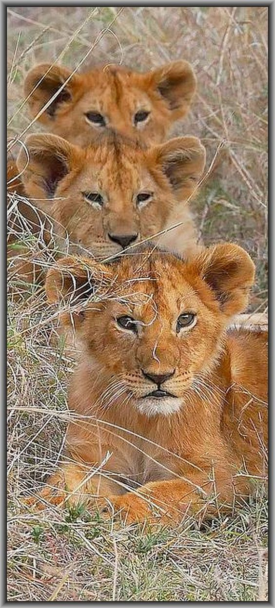3x CURIOSITY 12 week old lion cubs of the Offbeat Pride, Mara North Conservancy, Kenya #by NewbyGaronga on Flickr