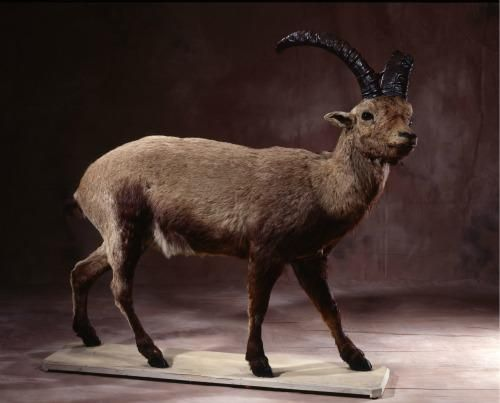 14 extinct animals that could be resurrected: Pyrenean ibex