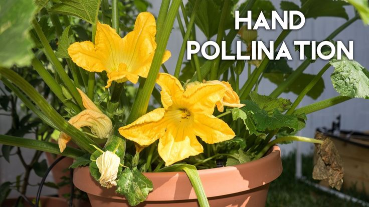 How to pollinate zucchini, squash, cucumber, pumpkin for huge yields