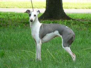 Blue Italian Greyhound Puppies For Sale