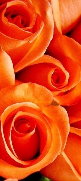Orange Roses...my absolute fav!
