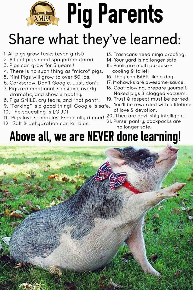 Learn the Facts of Mini Pigs at  www.AmericanMiniPigAssociation.com