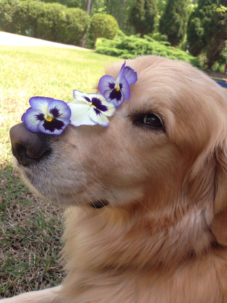 pretty flowers on my nose Golden Retriever Puppies