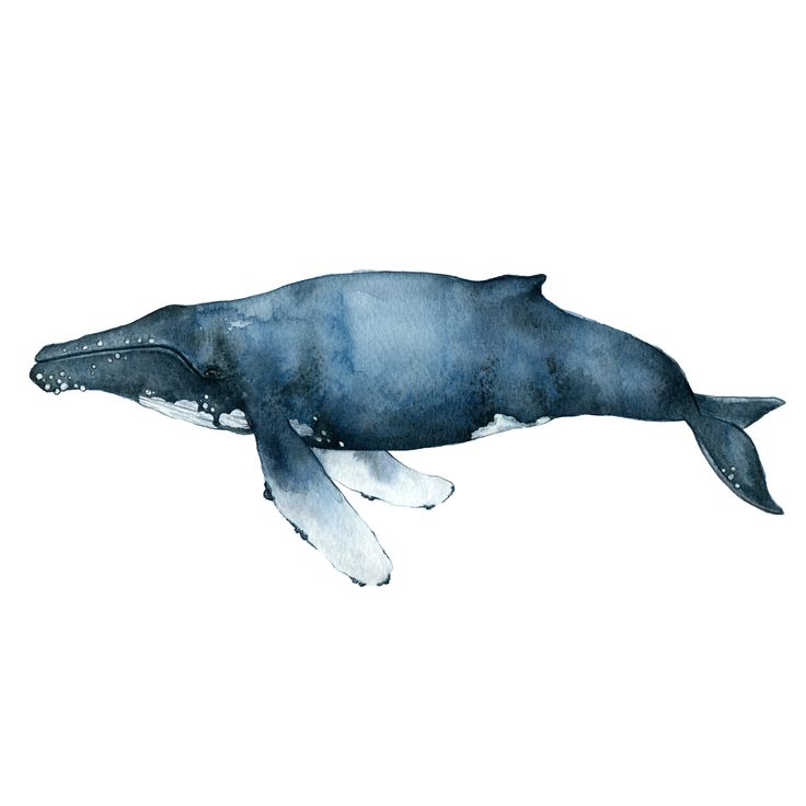 The Humpback Whale is part of The Whale Collection. I painted it on a gloomy day at my family's summer house on the Swedish coast. I was inspired by the qualities and textures of the ocean. Light and illuminated yet dark and heavy, just like the ocean and just like a whale.The Humpback Whale is a hand painted watercolor which has been printed on fine art paper, multi natural 270g, that has a gorgeous off white tone. You will find the print in two different sizes, A4 and A3. All ...