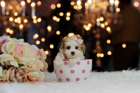 Looking for small size Morkie puppy? http://www.teacuppuppiesstore.com/special_puppies.html ▧ Name: Danielle ▨ Yorkie/Maltese Puppy pocketbook ▧ Price: $6550.00 ▨ Gender: girl bring her home to you! call me (954)353-7864 ◥  #puppy #puppylove #dog #dogs #dogsrock #pet #fortlauderdale #miami #bocaraton #dade #broward #palmbeach #teacups #teacuppuppiestore #maltese #yorkie #morkie #teacuppuppy #cute #collaresparaperros #cachorra, #perrito #perrita #perros #perro