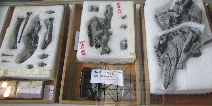 Fósiles del Chilesaurus diegosuarezi.