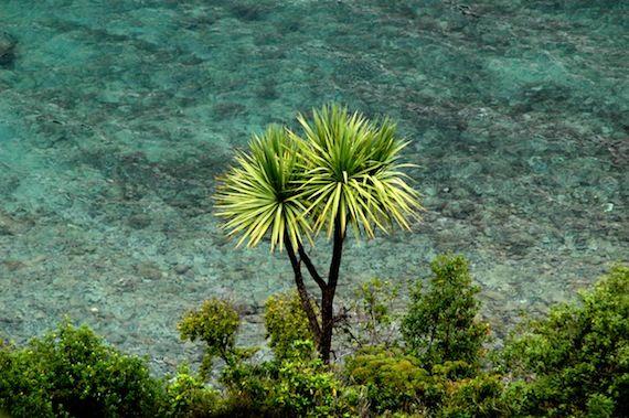 Ti Kōuka - Cabbage Tree (Cordyline australis)