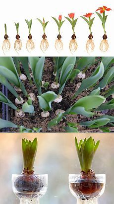 (+1) тема - Выгонка тюльпанов от А до Я | 6 соток