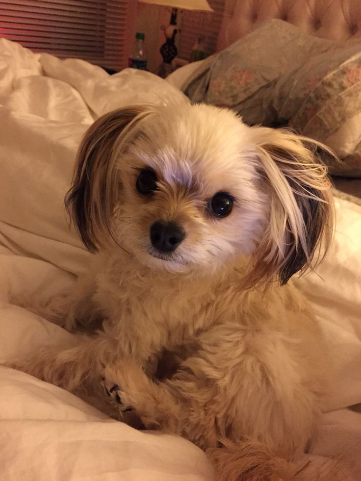 shih tzu yorkie pomeranian mix 1000 ideas about pomeranian mix on pinterest dogs for 7501