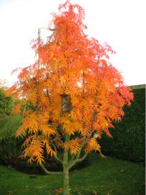 Sorbus Commixta Olympic Flame Dodong Agm Grows To Be