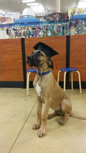 OMG... I thought this was my dog for a second. I have this exact same picture of my Dane puppy graduating from Puppy Class!