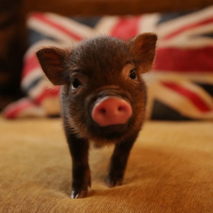 I love this little micro pig and the Union flag behind it!!