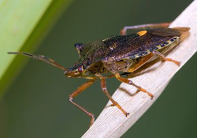 Pentatoma rufipes Forest Bug