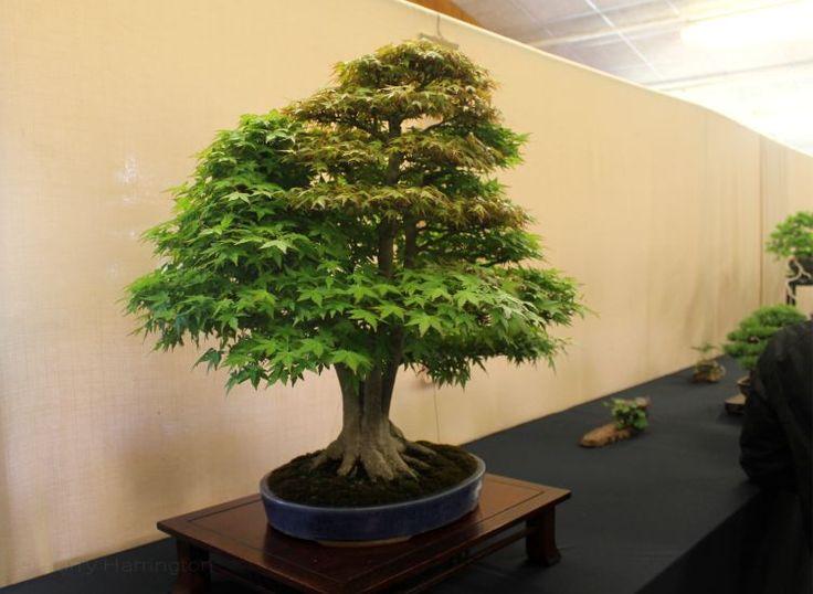 japanese maple acer palmatum clump form bonsai