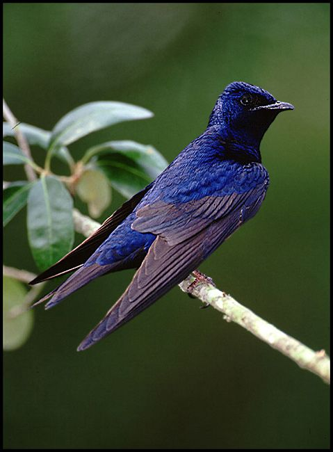 Purple Martin: foraging almost entirely in mid-air it feeds on a wide variety of flying insects.