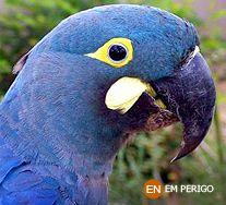 Arara Azul de Lear. Anodorhynchus leari. Caatinga. Instituto Chico Mendes de Conservação da Biodiversidade - Destaque - Arara Azul de Lear