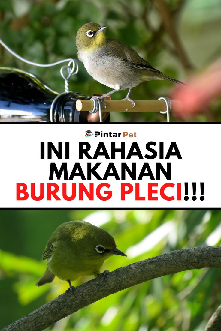 Rahasia Makanan Burung Pleci Agar Cepat Gacor Makanan Burung Burung Makanan
